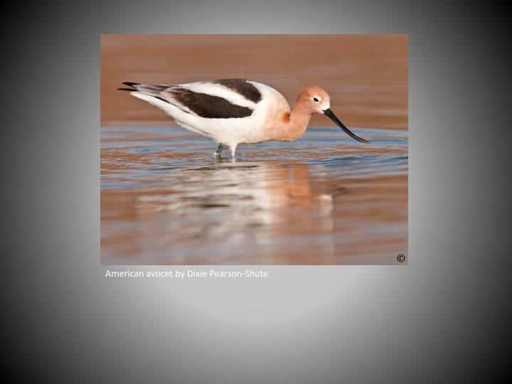 American avocet by Dixie Pearson-Shute
