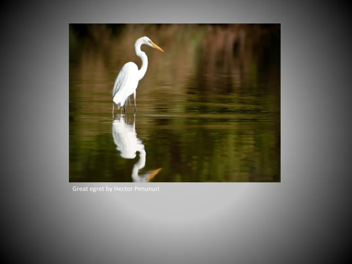 Great egret by Hector Penunuri