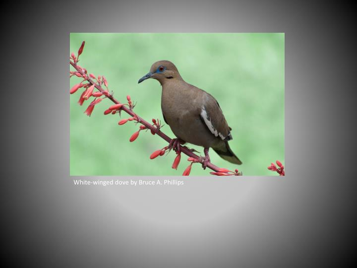White-winged dove by Bruce A. Phillips