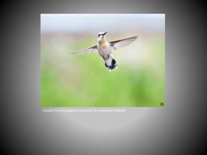Costa's hummingbird (juvenile) by Kathleen Reeder