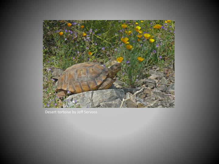 Desert tortoise by Jeff Servoss