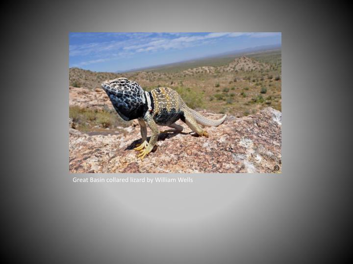 Great Basin collared lizard by William Wells