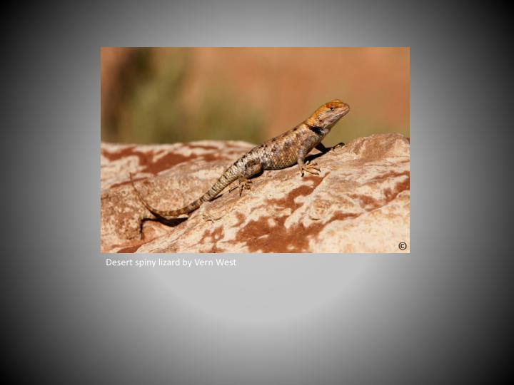 Desert spiny lizard by Vern West