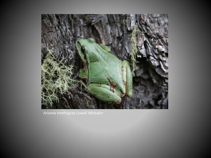 Arizona treefrog by Lowell Whitaker