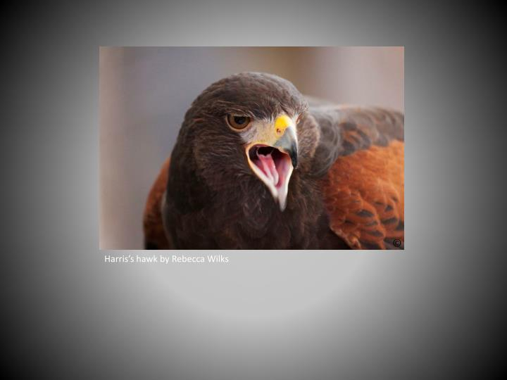 Harris's hawk by Rebecca Wilks