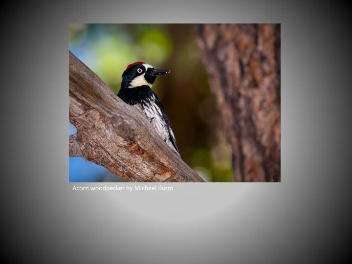 Acorn woodpecker by Michael Burm