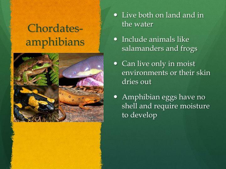 Chordates- amphibians
