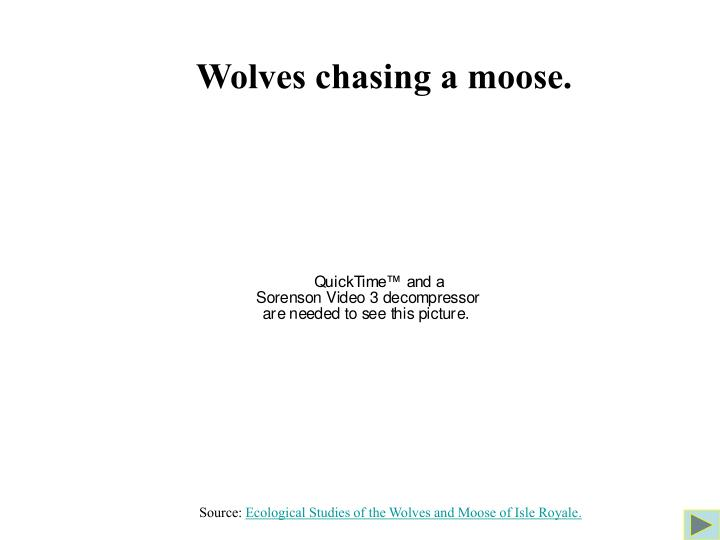 Wolves chasing a moose.
