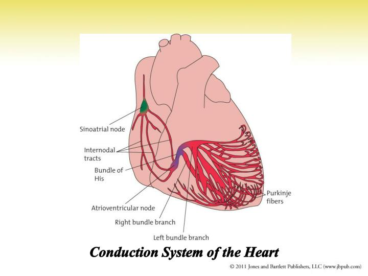 Conduction System of the Heart