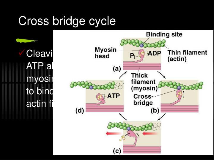 Cross bridge cycle