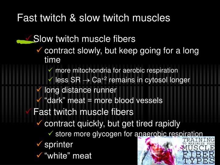Fast twitch & slow twitch muscles
