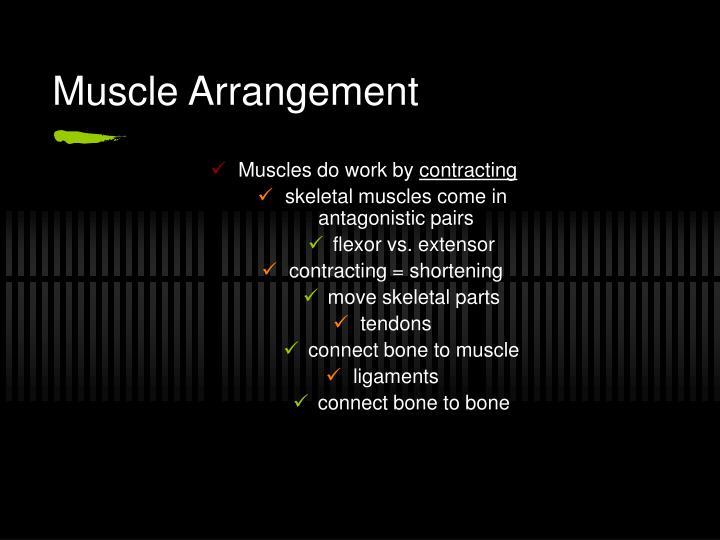 Muscle Arrangement