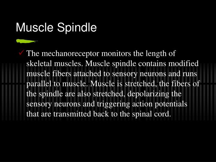 Muscle Spindle