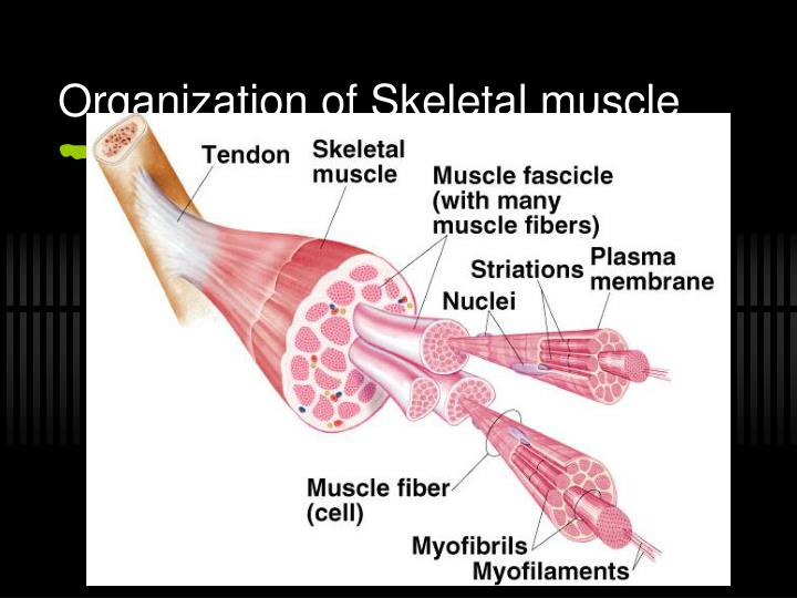 Organization of Skeletal muscle
