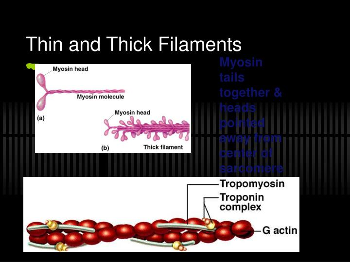 Thin and Thick Filaments
