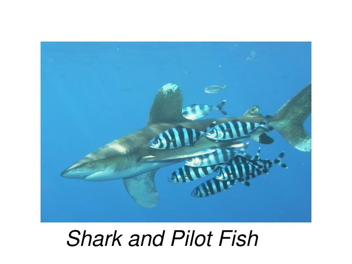 Shark and Pilot Fish