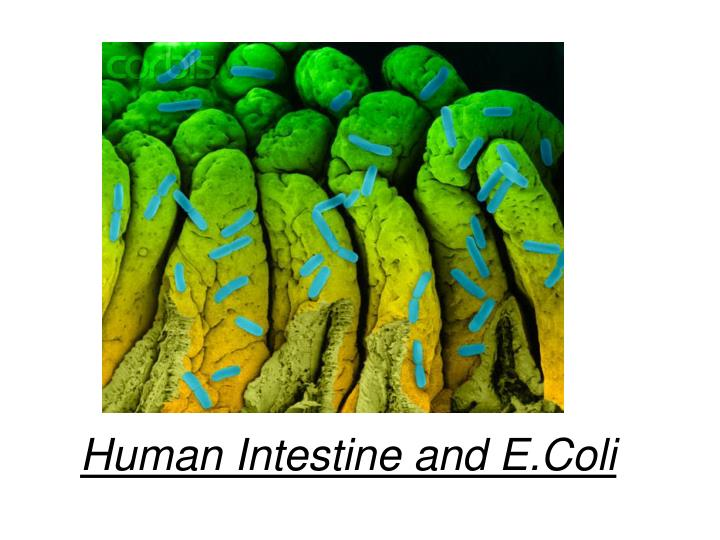 Human Intestine and