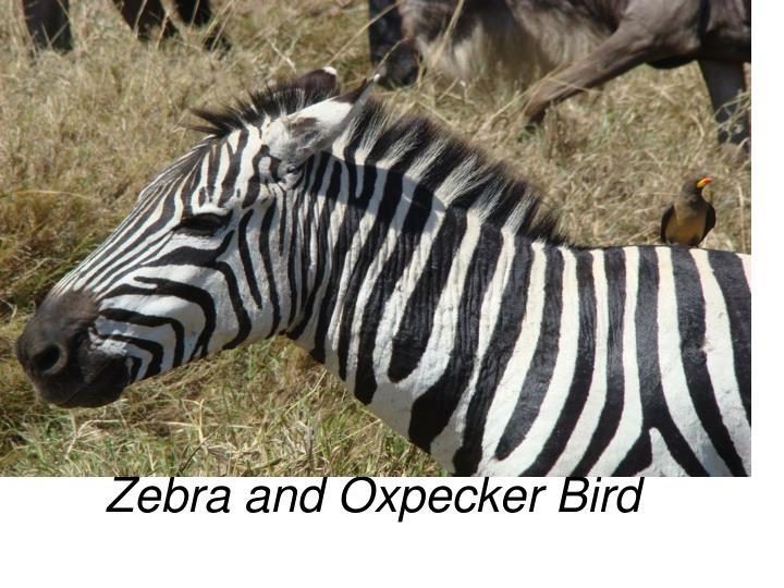 Zebra and