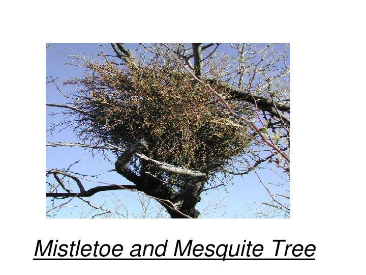 Mistletoe and Mesquite Tree