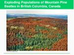 exploding populations of mountain pine beetles in british columbia canada