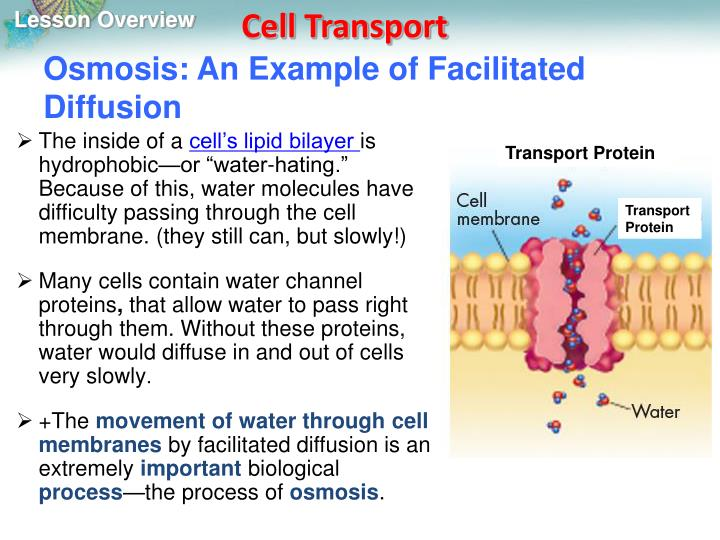 Osmosis: An Example of Facilitated Diffusion