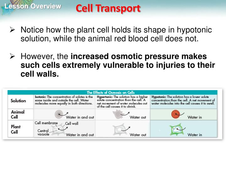 Notice how the plant cell holds its shape in hypotonic solution, while the animal red blood cell does not.