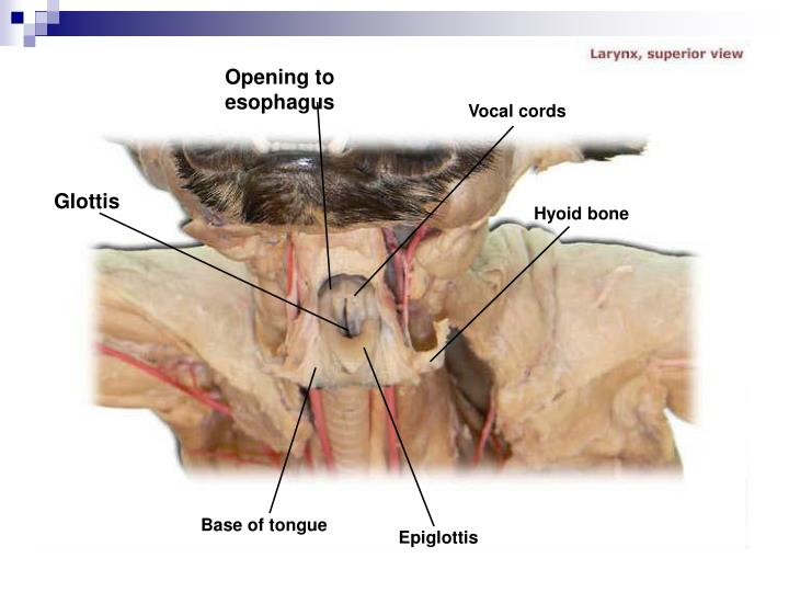 Opening to esophagus