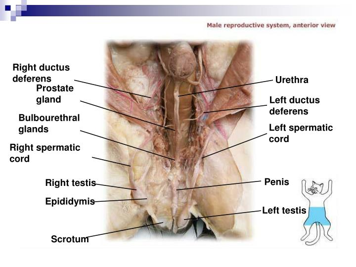 Right ductus deferens