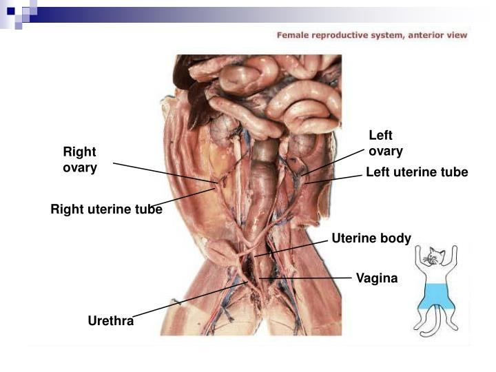 Left ovary