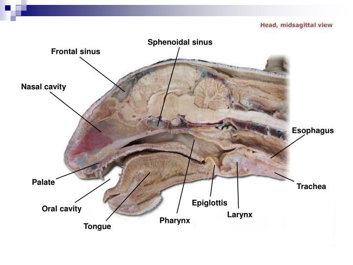 Sphenoidal sinus