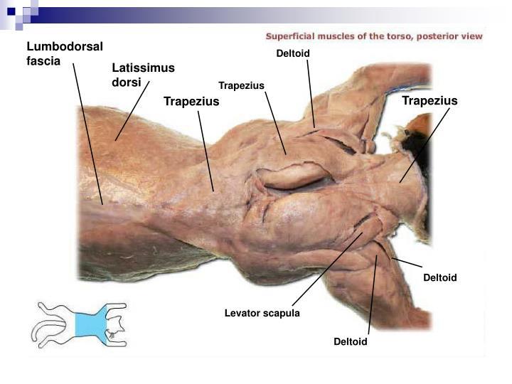 Lumbodorsal fascia