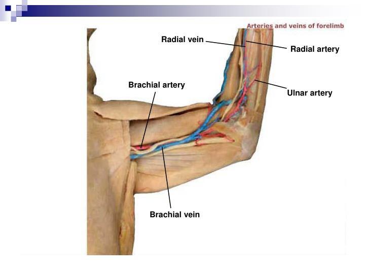 Radial vein