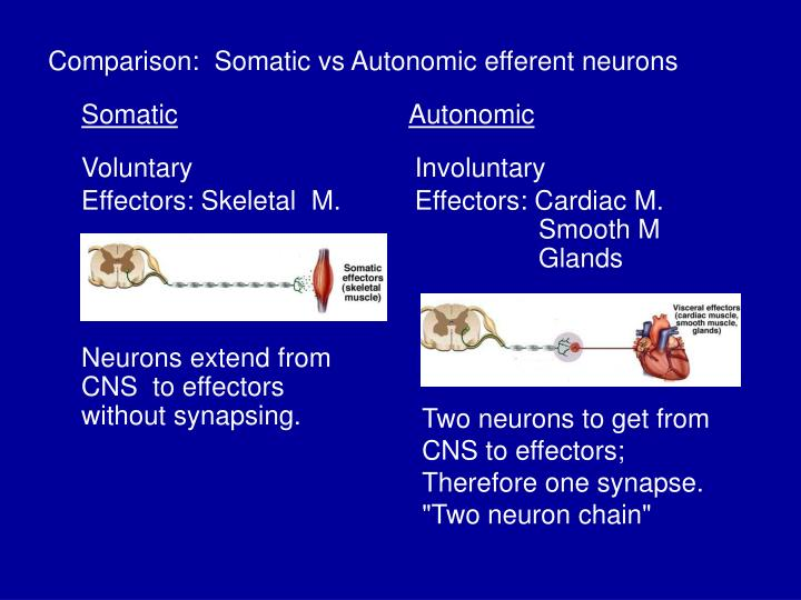 Comparison:  Somatic vs Autonomic efferent neurons