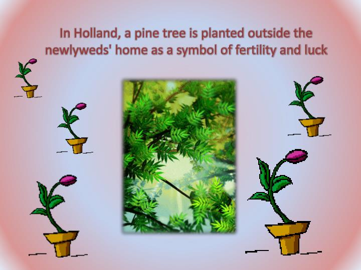 In Holland, a pine tree is planted outside the newlyweds' home as a symbol of fertility and luck