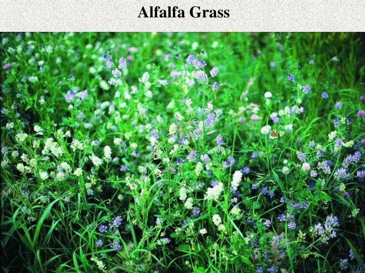 Alfalfa Grass