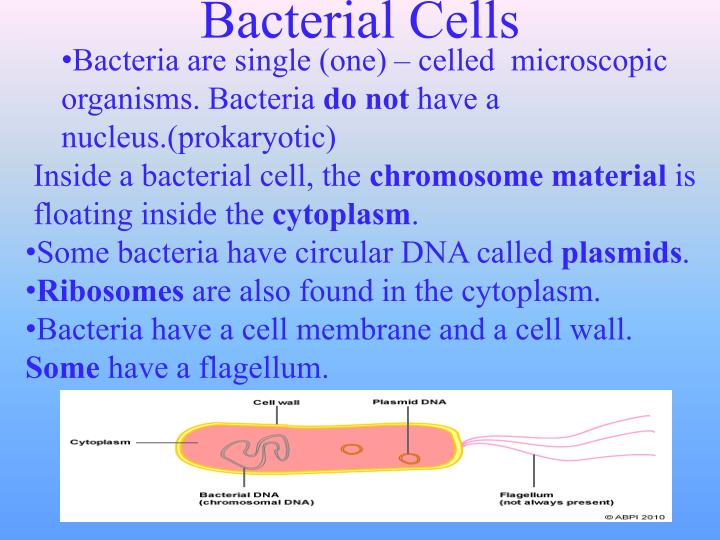 Bacteria are single (one) – celled  microscopic organisms. Bacteria