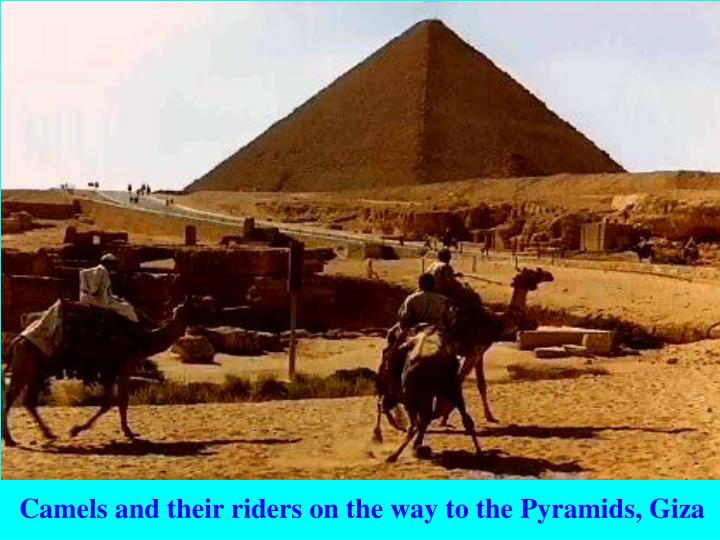 Camels and their riders on the way to the Pyramids, Giza