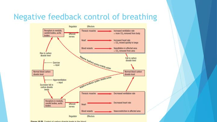Negative feedback control of breathing