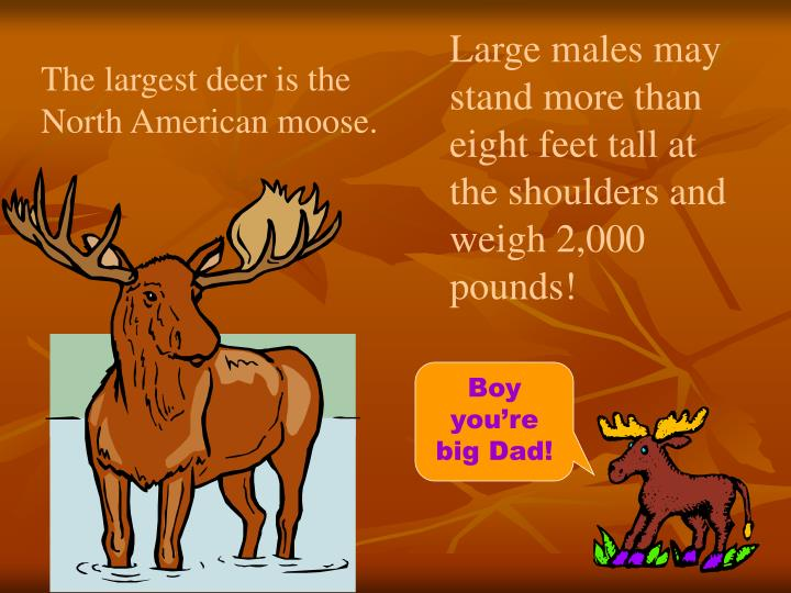 Large males may stand more than eight feet tall at the shoulders and weigh 2,000 pounds!