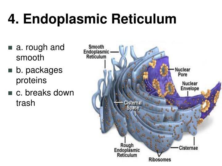 4. Endoplasmic Reticulum