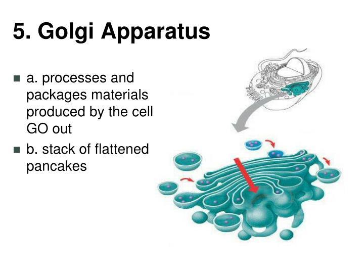 5. Golgi Apparatus
