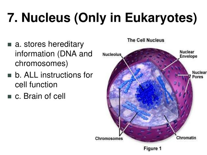 7. Nucleus (Only in Eukaryotes)