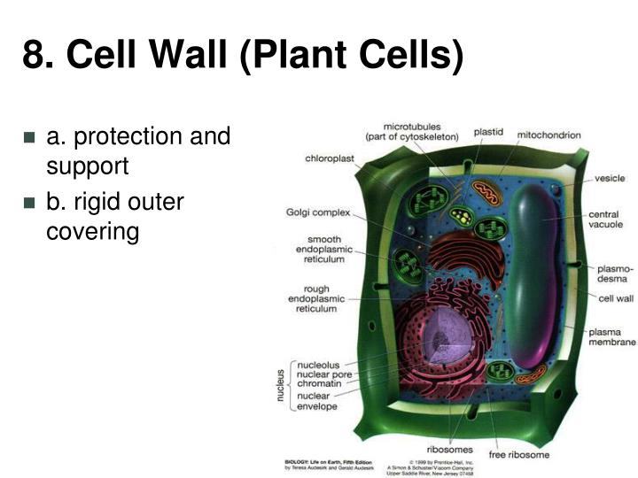8. Cell Wall (Plant Cells)