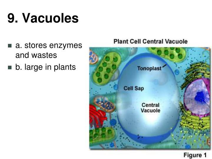 9. Vacuoles