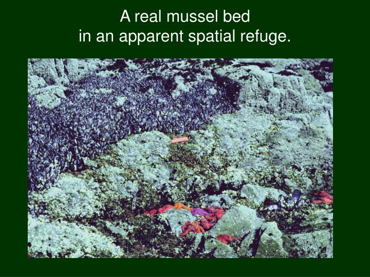 A real mussel bed