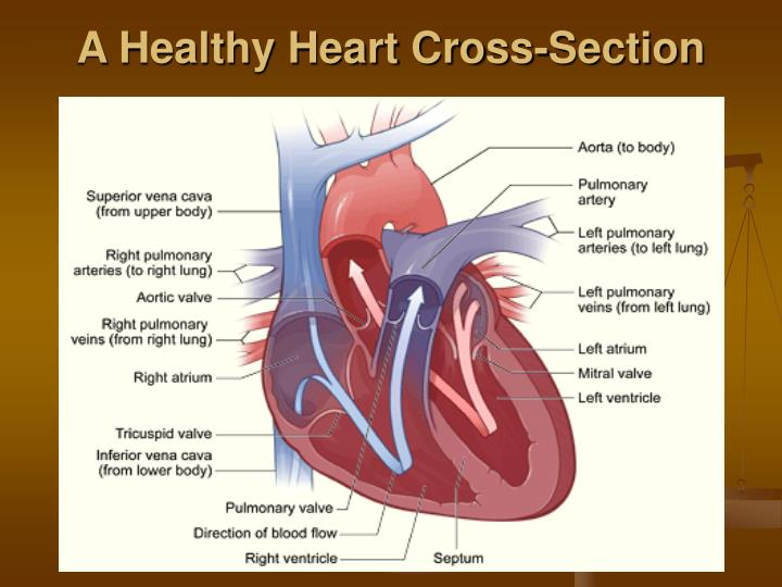 A Healthy Heart Cross-Section