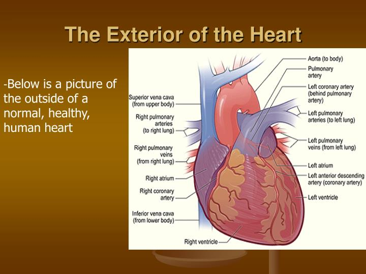 The exterior of the heart
