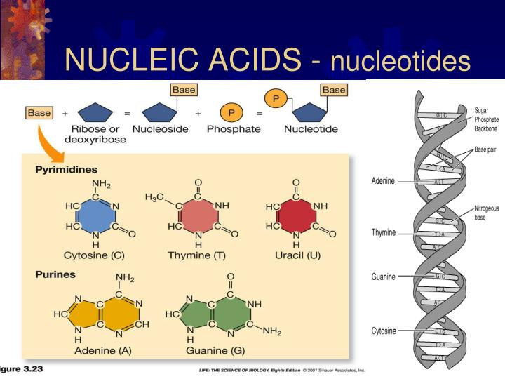 Ppt - Biomolecules Powerpoint Presentation