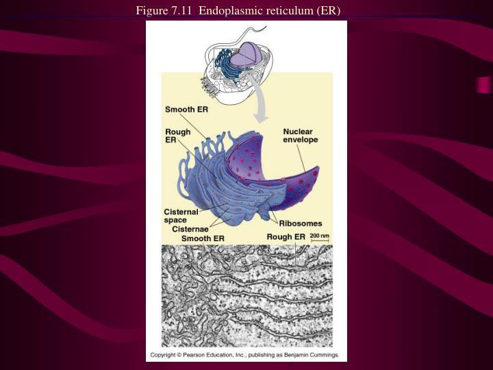 Figure 7.11  Endoplasmic reticulum (ER)