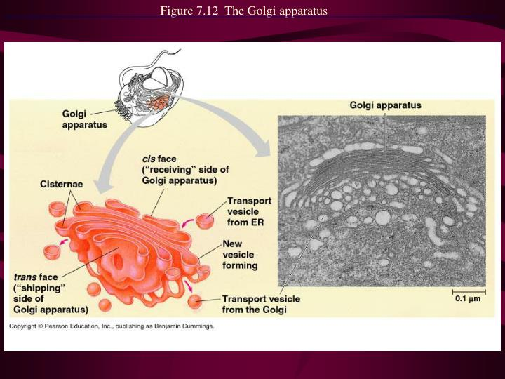 Figure 7.12  The Golgi apparatus